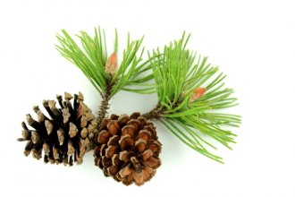 natural pine (borovice) - tatami - ne